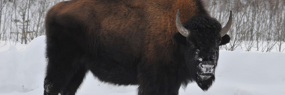 The GMC Rally Team discovered roads blocked by bison during the Alcan 5000 Winter Rally